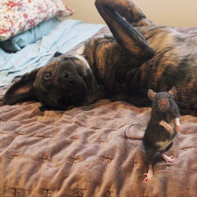 寵物鼠被救後和大狗狗成為了最好的夥伴!