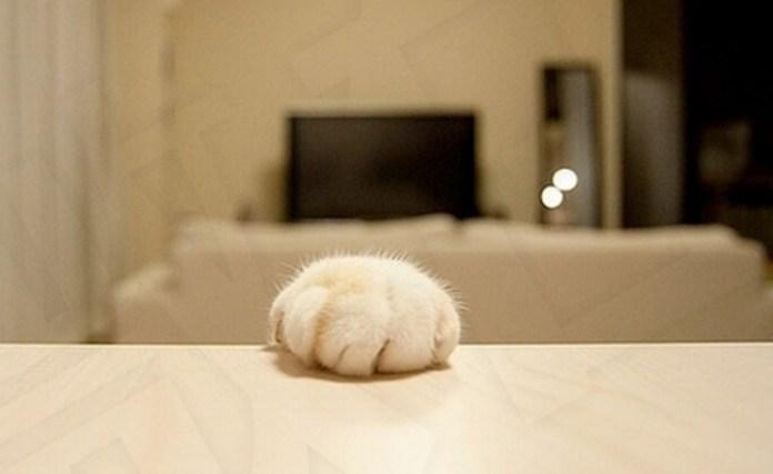太殘忍!貓咪去爪=截肢!!無知的人類阿...原來「貓去爪」背後血淋淋的真相是這樣的......