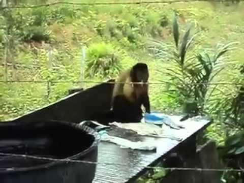 這隻猴子因為偷吃水果而被當地的居民懲罰它洗衣服,但看起來它真的洗得很不甘願!笑死