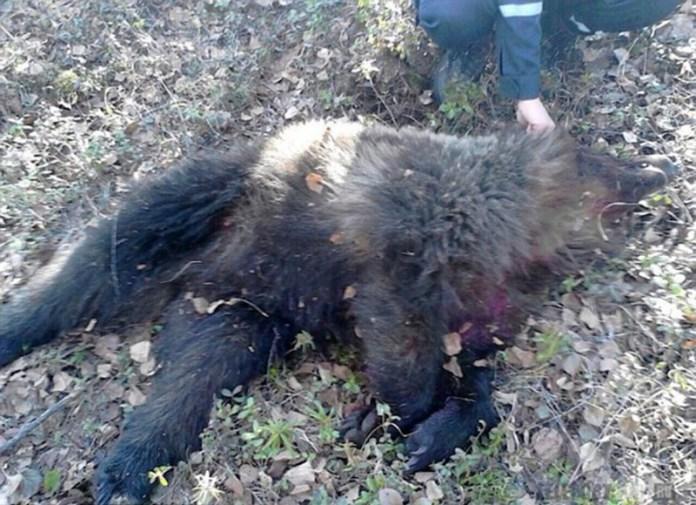 俄國女孩被殘暴黑熊襲擊,慘遭活埋...但她卻因為「這個原因」而逃過一劫!