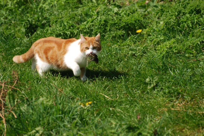 你家臭猫送你蟑螂?貓咪其實是想教你打獵!