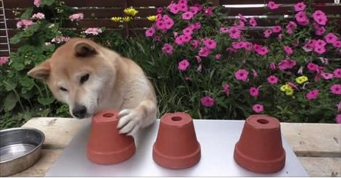 十局遊戲測試狗狗的智商,這樣傻萌的柴犬一定會讓你笑到喘不過氣來。