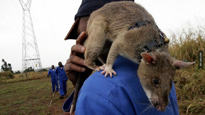 HeroRATS help clear these deadly mines in Africa 05