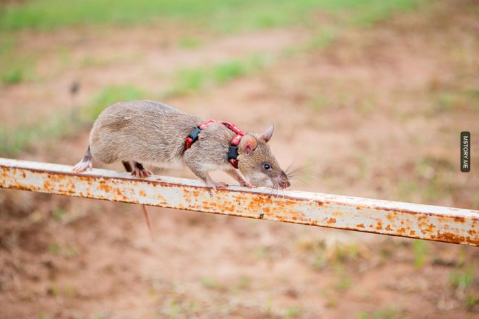HeroRATS help clear these deadly mines in Africa 09