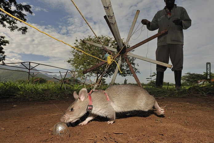 HeroRATS help clear these deadly mines in Africa 11