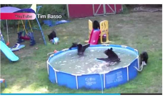 高溫酷熱難耐,新澤西熊媽帶5熊寶闖民居泳池消暑(影片)