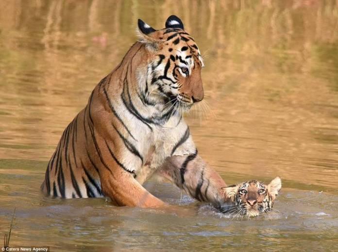 看看真正的老虎媽 怒摁小老虎洗澡