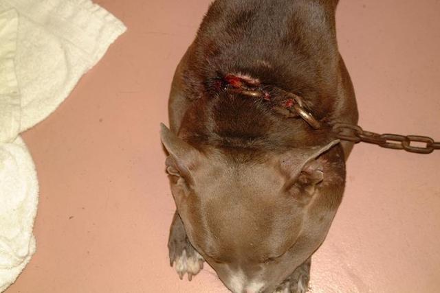 救護人員一開始看到狗狗還以為是被蜜蜂蜇到,細看才發現恐怖事實