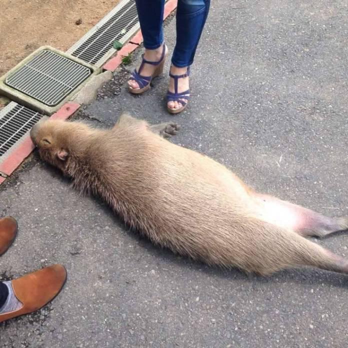 在公園發現「倒在地上的水豚」嚇了一大跳,但一近看,原來牠在睡覺...