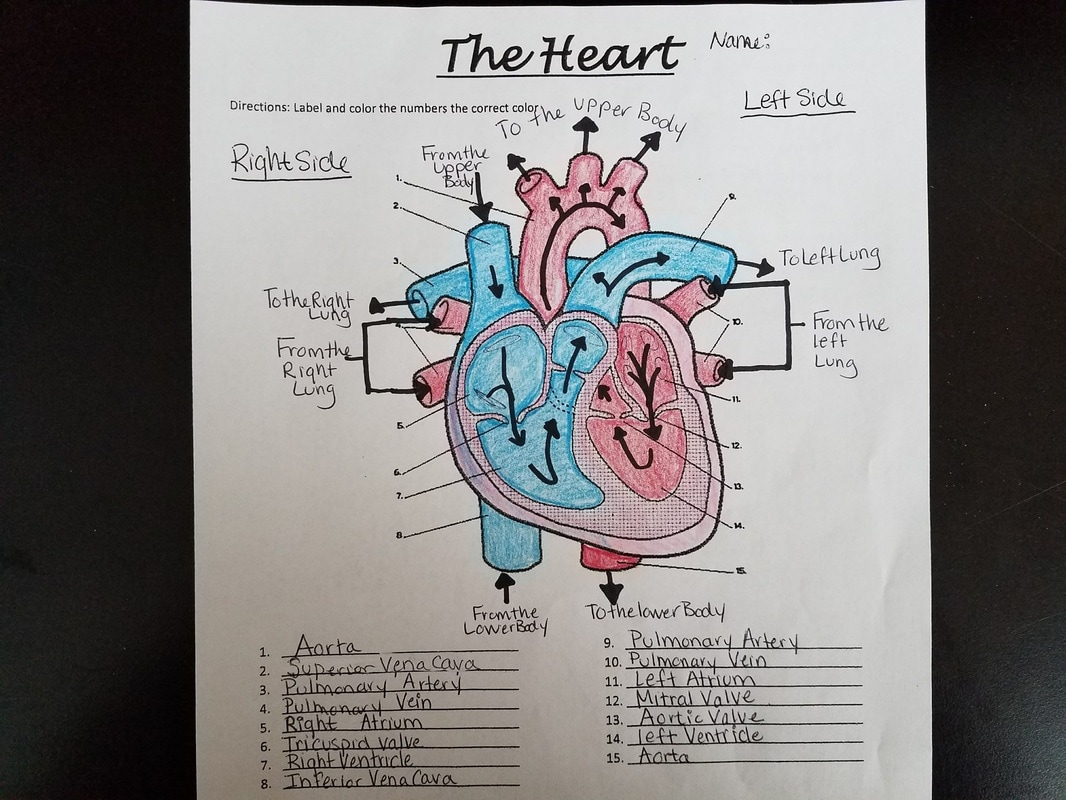 32 Label The Respiratory System Worksheet Answers