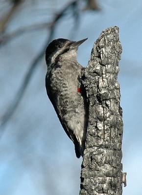 BBWoodpecker.Martinka