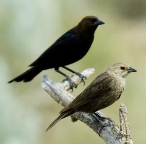 Brown-headedCowbird_Pair