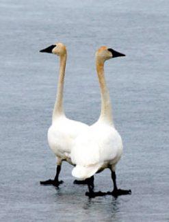 Trumpeter Swan Pair - small