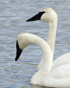 Trumpeter Swan Pair3_small