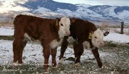 calving season #calfwatch14