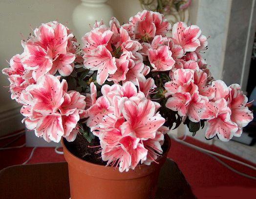 Ядовитый цветник. 10 комнатных растений, о вреде которых вы не подозревали
