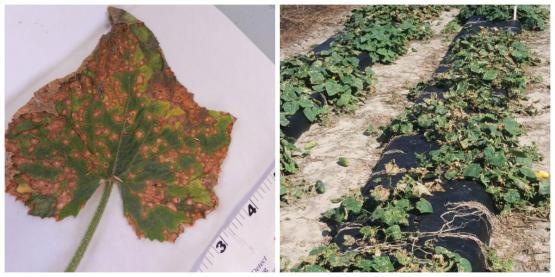 антракноз рыжие пятна на листьях огурца
