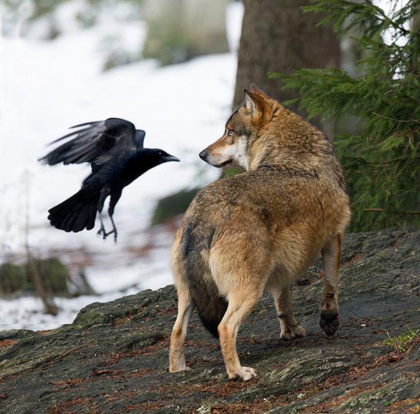 """""""Смотри мне в глаза, волк"""" вороны, животные, птицы, фото"""