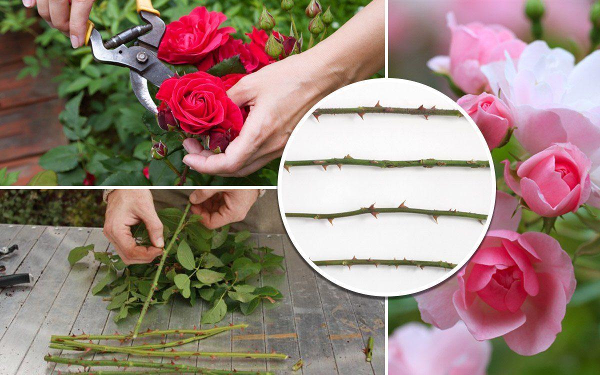 Черенкуем розы – 7 полезных советов