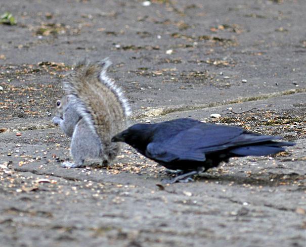 Посягательство на хвост белки вороны, животные, птицы, фото