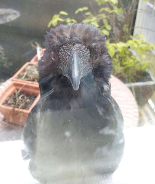 Она следит за тобой вороны, животные, птицы, фото