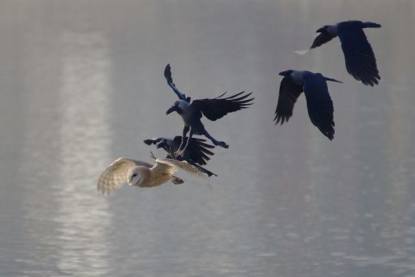 Вместе они - еще более наглая сила вороны, животные, птицы, фото