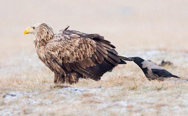 Орлы с железным терпением вороны, животные, птицы, фото