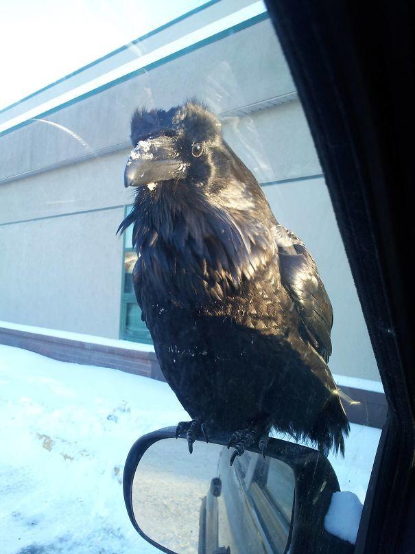 Ворон нагло просит еды вороны, животные, птицы, фото