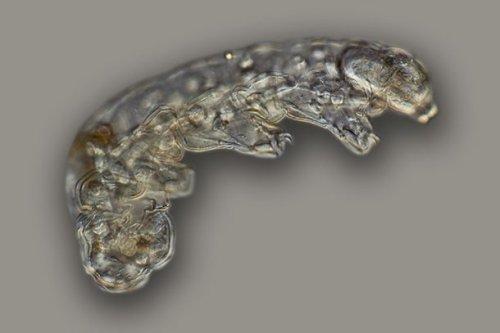 ТОП-25: Удивительные факты о тихоходках, которые взорвут ваш мозг