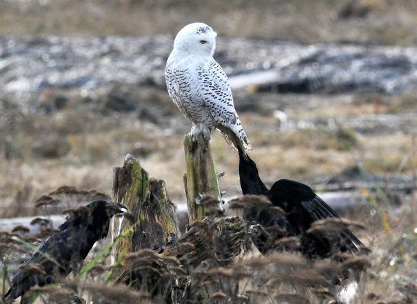 Издевательство над белой совой вороны, животные, птицы, фото