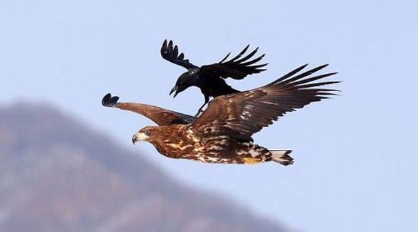 И снова бесплатные поездки вороны, животные, птицы, фото