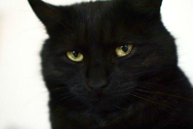 Черные кошки: самые интересные и удивительные факты