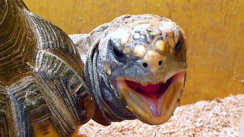 Черепахи могут дышать через попу. Редкая черепаха - элсея белогорлая способна дышать попой. Пятая точка этого потомка динозавров способна абсорбировать кислород и на суше, и в воде бесполезные, жизнь, интересно, прсото обо всем, факты