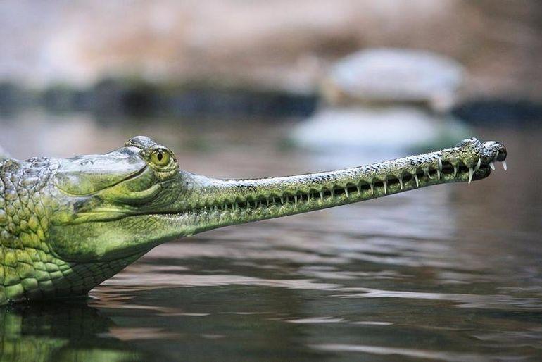 Гангский гавиал — уникальный представитель среди крокодилов