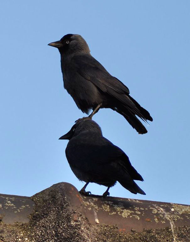 """""""Ничего, если я немного постою у тебя на голове?"""" вороны, животные, птицы, фото"""