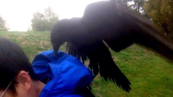 """""""Крутая куртка. Дай попробую!"""" вороны, животные, птицы, фото"""