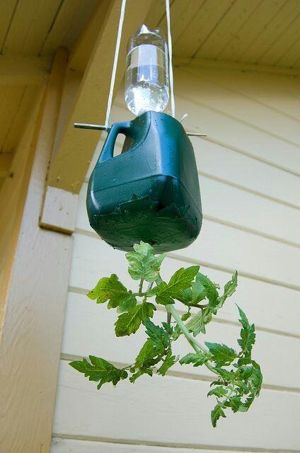 Кто так пробовал? Растения вверх корнями. Дачное pinterest, дача, помидор, вверх ногами, длиннопост