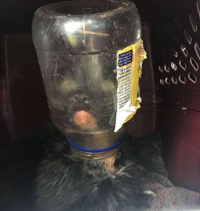 Кот под майонезом! Люди спасли неуловимого зверя, застрявшего в банке, но он их не полюбил