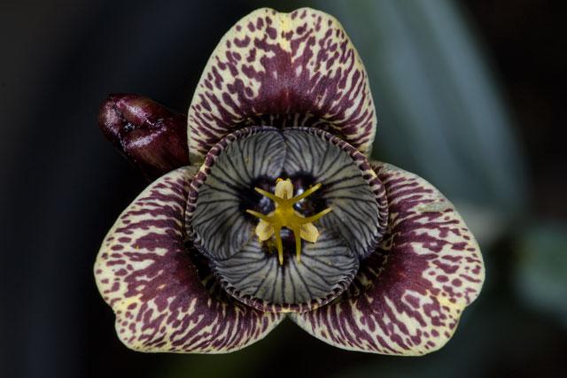 Клуб любителей комнатных растений * Просмотр темы - Тигридия (Tigridia pavonia)