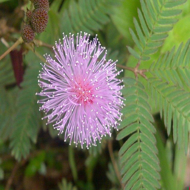 Мимоза стыдливая волосатость, интересное, красота, природа, растения, флора
