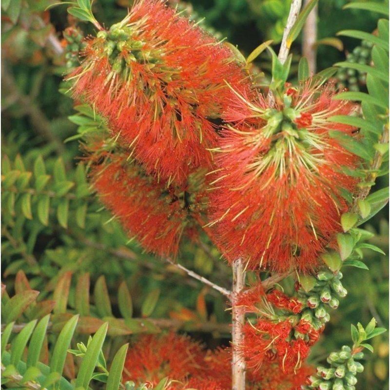 Каллистемон, или Красивотычиночник, или Краснотычиночник — род вечнозеленых кустарников или небольших деревьев семейства Миртовые, произрастающих в Австралии и, частично, в Новой Каледонии волосатость, интересное, красота, природа, растения, флора