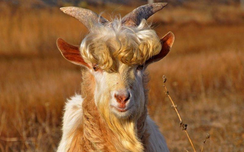 """Ученые доказали, что козы """"мекают"""" и """"бекают"""" с акцентом той местности, в которой живут бесполезные, жизнь, интересно, прсото обо всем, факты"""