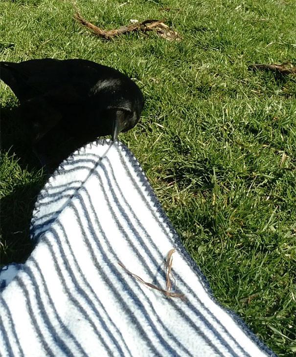 Ворона пытается стянуть одеяло для пикника вороны, животные, птицы, фото
