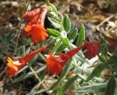 California Fuchsia