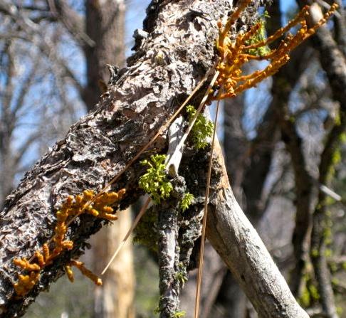 Pine Mistletoe