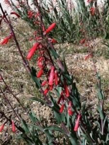 Scarlet Bugler (Penstemon centrathifolius)