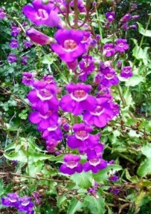 Showy Penstemon (Penstemon spectabilis)