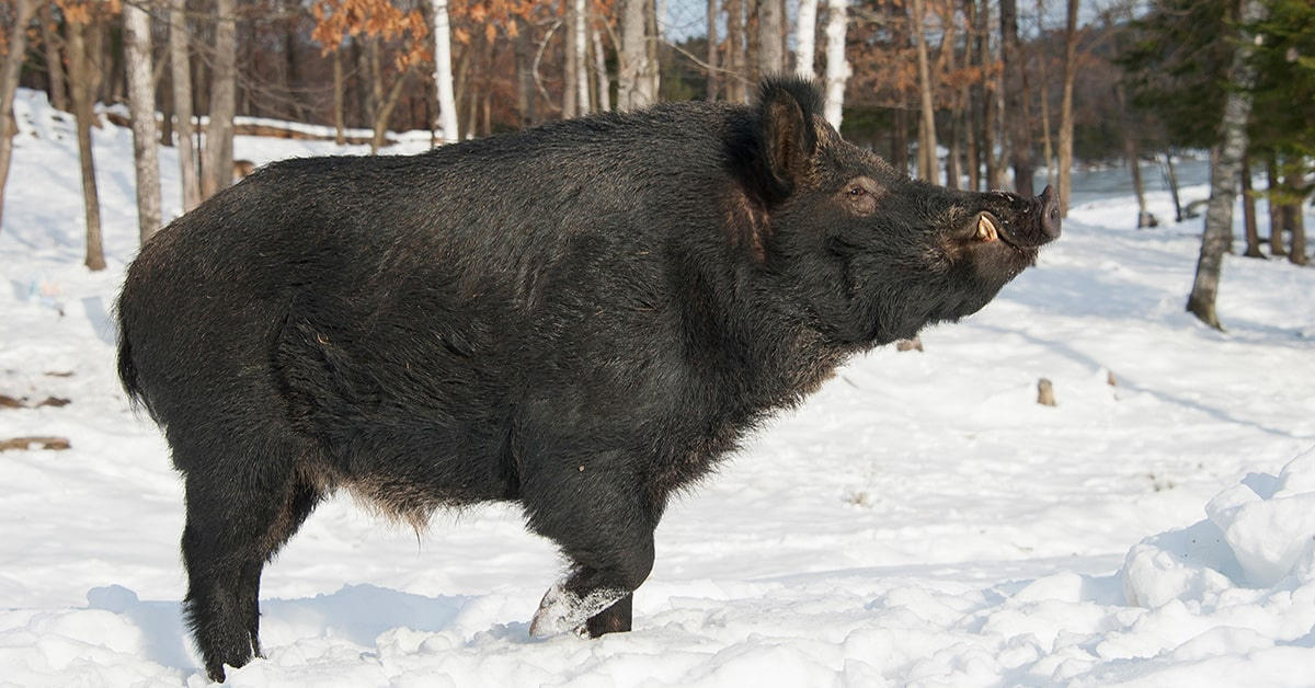 Wild Boar seen in Magog area – residents on alert