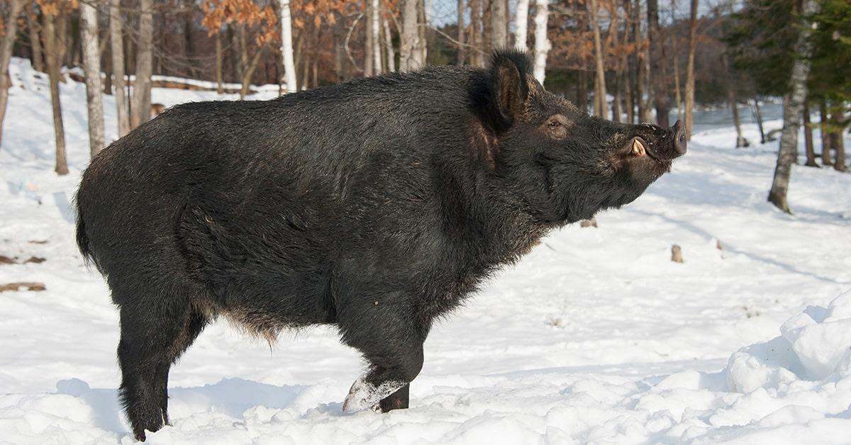 Wild Boar seen in Magog area – residents on alert