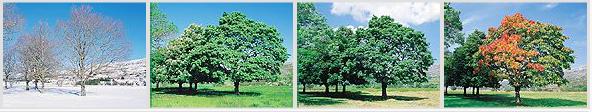 Maple trees four seasons